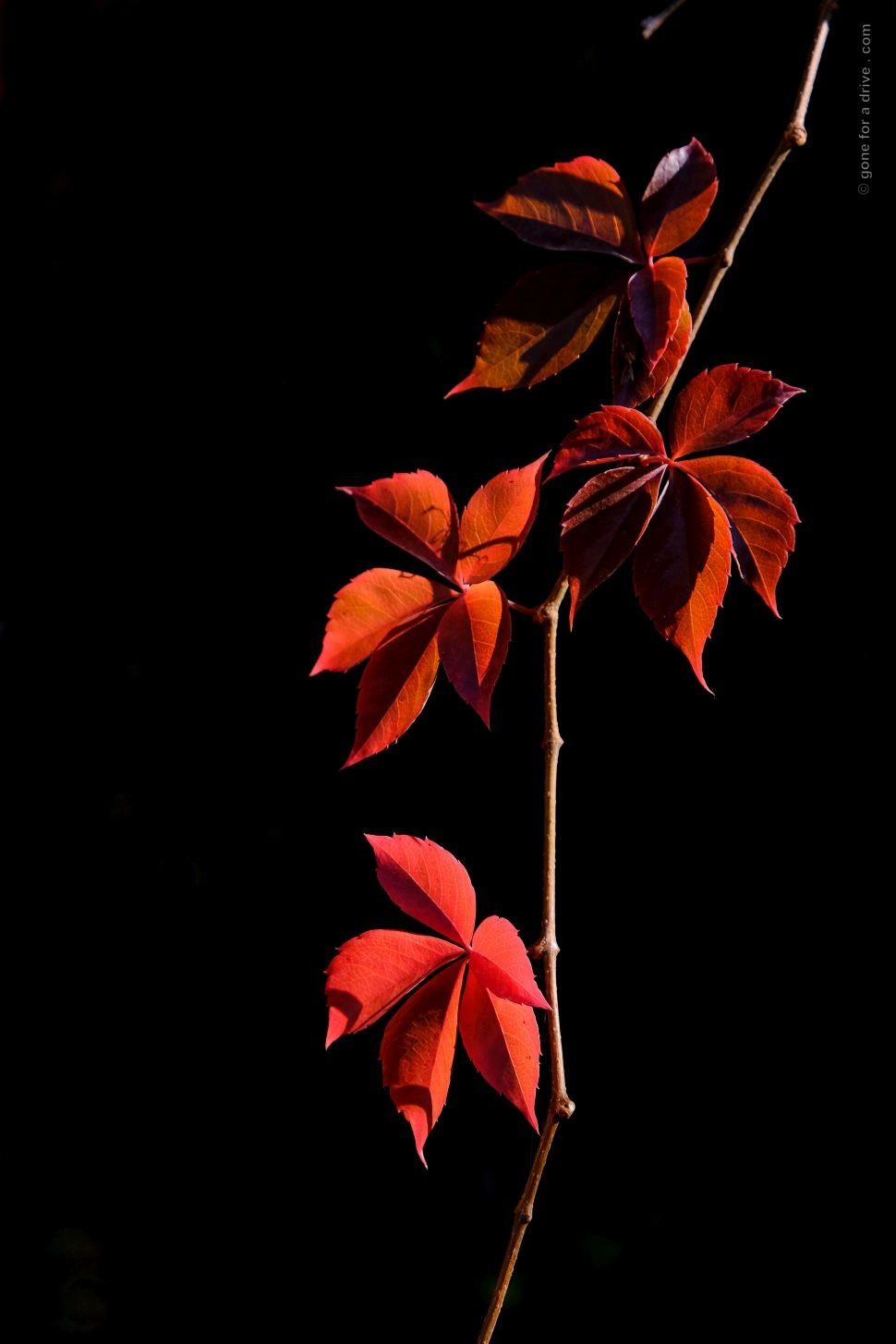 Rot leuchtende Blätter eines Weinstocks vor schwarzem Hintergrund.