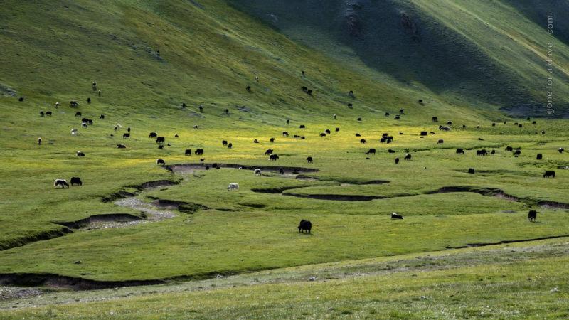 Yaks auf grüner Bergwiese in Kirgistan
